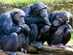Когда человек произошел от обезьяны и почему у людей нет шерсти.