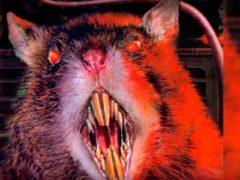 Вторжение крыс, опасный конкурент человечества.
