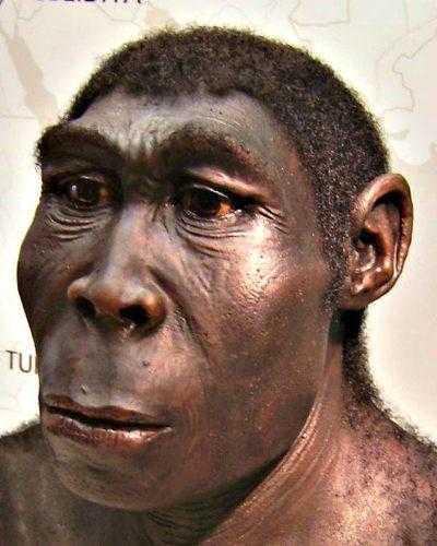 Реконструкция копии Homo erectus выставлена в Государственном музее Вестфалии, Херне, Германия.