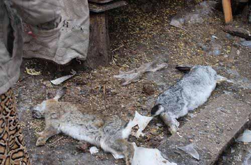 Кролики умерщвленные ночным охотником