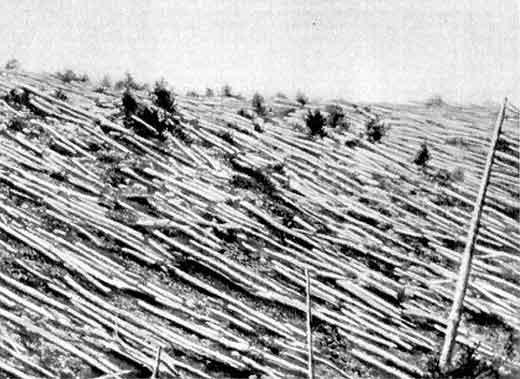 Тунгусский взрыв, поваленные деревья